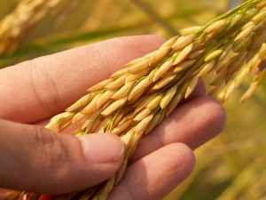 agriculture asia autumn barley